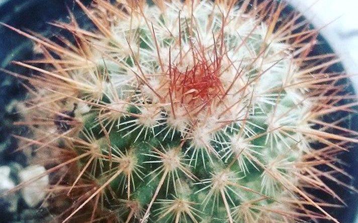 Kaktus, ljubav -Cactus Love